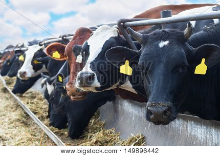 Cows are in stable peek through fences and eating straw in farm