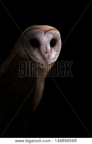 Common Barn Owl In The Dark