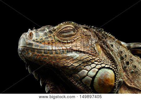 Close-up Head of Green Iguana Sleep with Close Eyes Isolated on Black Background