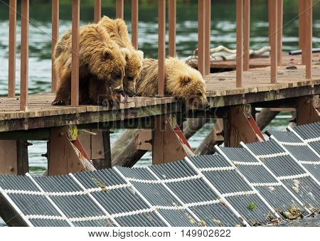 Three little brown bear cub on fence to account for fish. Kurile Lake in Southern Kamchatka Wildlife Refuge.