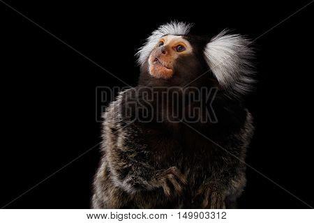 Close-up Profile portrait of Cute monkey Common Marmoset, Callithrix jacchus Isolated Black background