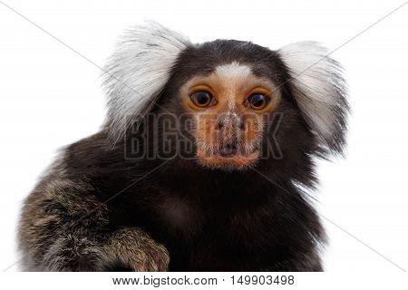 Close-up portrait of Cute monkey Common Marmoset, Callithrix jacchus Isolated White background