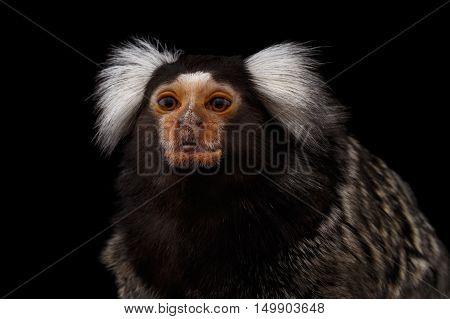 Close-up portrait of Cute monkey Common Marmoset, Callithrix jacchus Isolated Black background