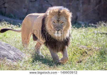 A lion with a large mane walking in the grass.