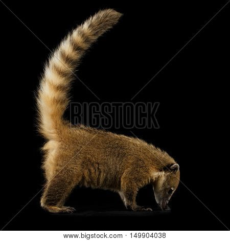Wild animal South American coati, Nasua Standing and sniffing with Tail Isolated on Black Background