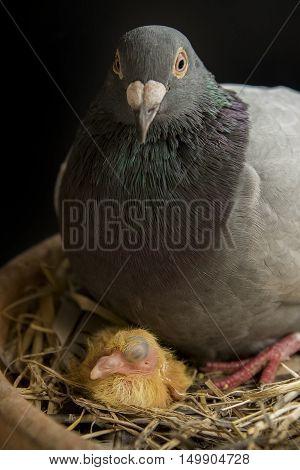 close up pigeon bird hatching in home loft