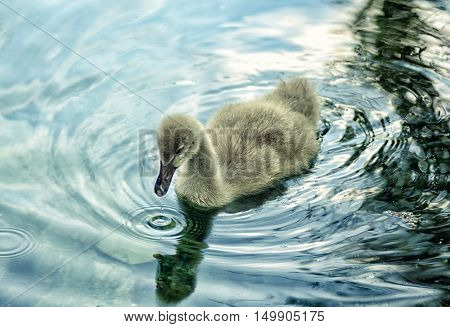 Black swan little fluffy cygnet on water.