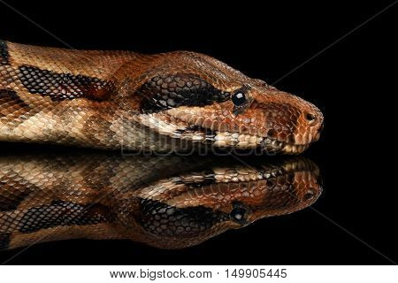 Close-up Head of Snake Boa constrictors, isolated on black background