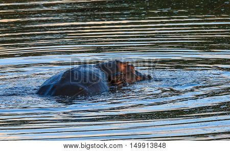 A Mother Hippo with her new born calf at her side in the Kruger National Park South Africa