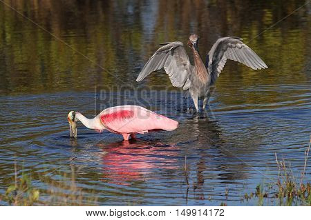 Roseate Spoonbill (Platalea ajaja) and Reddish Egret (Egretta rufescens) wading in the Florida Everglades