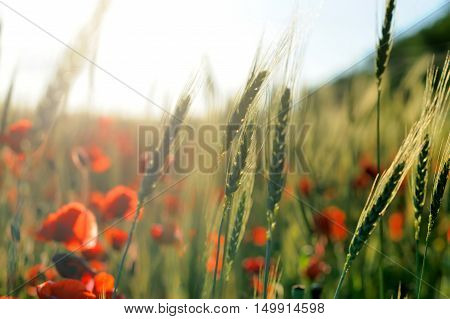 Red Corn Poppy Flowers In Summer