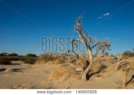 Old Dead Desert Tree