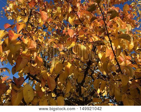 Autumn leaves, yellow and pink leaves on the trees in the background of the luscious blue sky