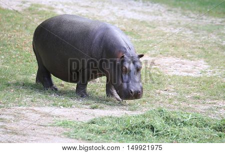 Fat And Heavy Hippo While Eating The Grass