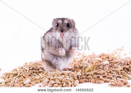 hamster on grain