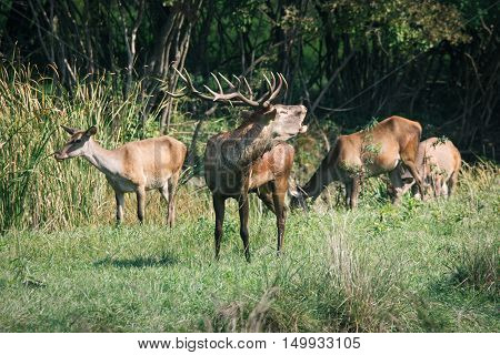 Red deer in runting season beautiful picture
