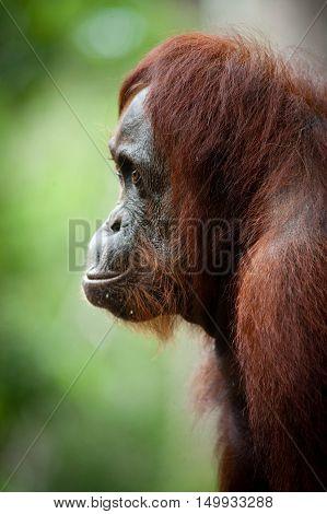 Orangutan in Tanjung Puting National Park, Kalimantan