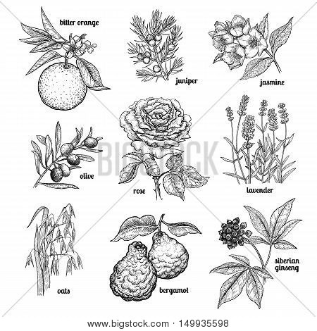 Jasmine flower rose lavender juniper bergamot oats olive tree branch orange fruit Siberian ginseng. Set plants for cosmetics medicine cooking. Vector illustration. Vintage engraving style.