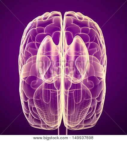 Brain lobe and cerebellum isolated on white. Medical accurate 3D illustration