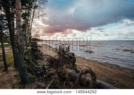 Pine tree forest with snag near shallow sea at sunset time on the Gulf of Finland near St. Petersburg, Russia