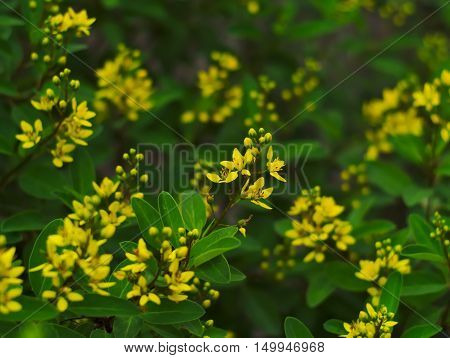 Golden Thryallis Gold Shower Shower of Gold Rain of Gold Galphimia glauca or Thryallis glauca