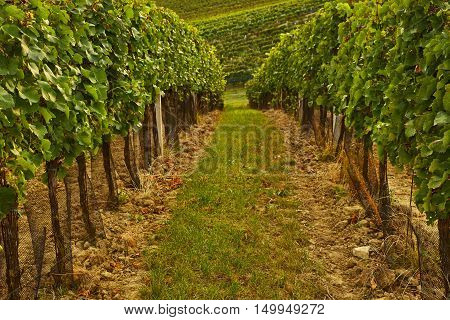 Rows Of Vineyard With Sunshine. Toned At Sunset
