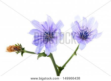 The flowers of chicory isolated on a white background.