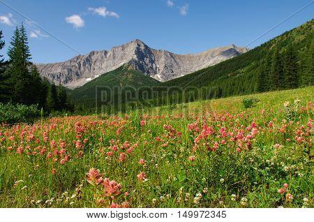 Mountain Wildflowers on a hillside Kananaskis Country Alberta Canada