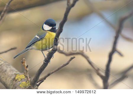 Tit bird on a branch tit close up