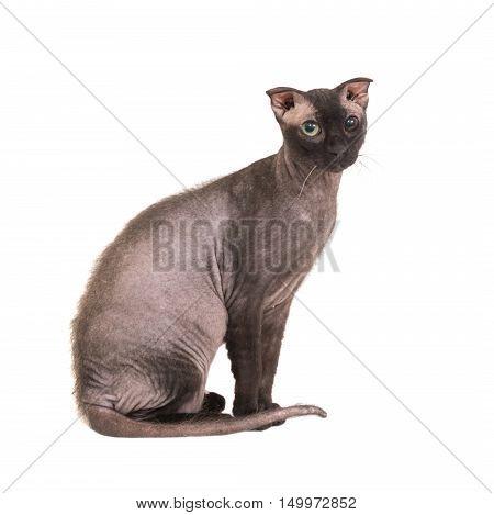 Black Purebred Sphinx Cat