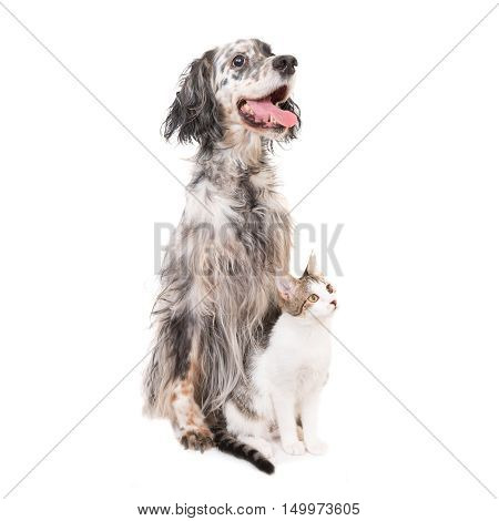 Dog English Setter And Domestic Cat