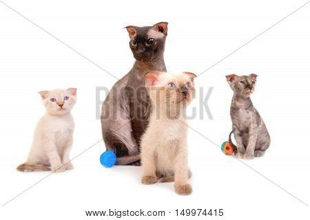 Black Purebred Sphinx Cat With Three Kittens