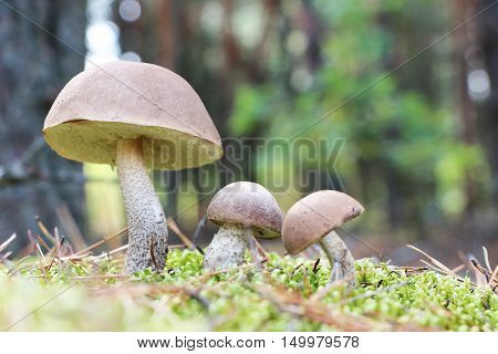 The brown-cap mushrooms grow in the green moss wood leccinums growing in the sun rays close-up photo