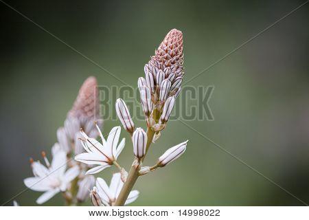Simple Beauty - Asphodelus ramosus