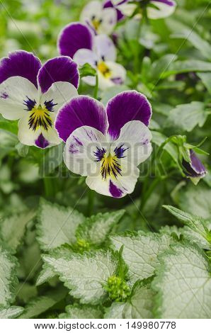 Tricolor Pansy Flower