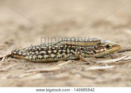 close up of juvenile balkan wall lizard ( Podarcis tauricus )