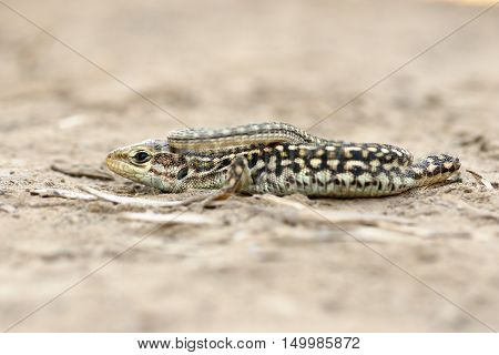 juvenile Podarcis tauricus standing on the ground ( the balkan wall lizard )