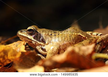 close up of Rana dalmatina on autumn forest ground ( agile frog )