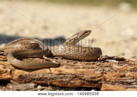 smooth snake basking on tree bark ( Coronella austriaca )