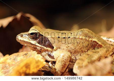 closeup of agile frog ( Rana dalmatina ) autumn image with faded leaves