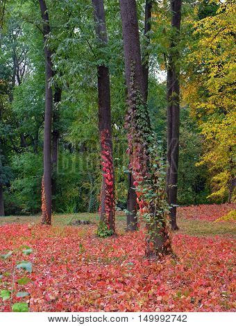 Autumn landscape of red leaves and trunks of trees entwined with ivy in the wild forest.