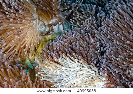 Clown Fish Inside Red Anemone In Indonesia