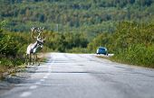 A reindeer standing by the road and waiting for an opportunity to cross it. Fast cars passing by. poster
