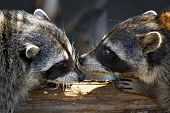 Love marriage games of raccoons-young animals in spring poster