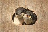 Pair of Baby Tree Swallows (tachycineta bicolor) looking out of a bird house poster