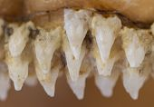 Row of shark teeth in jaw selective focus poster