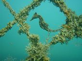 underwater photo of seahorse taken at balmoral beach shark net. poster