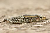 close up of juvenile balkan wall lizard ( Podarcis tauricus ) poster
