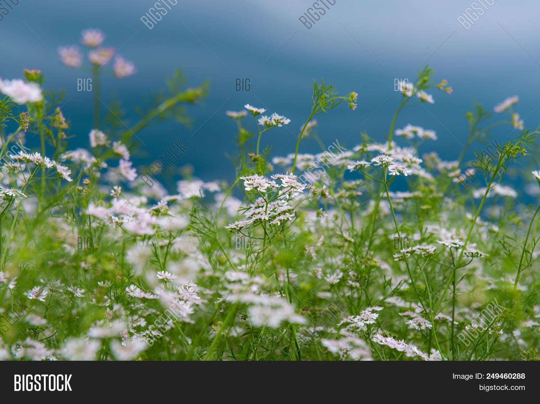 Field White Flowers Image Photo Free Trial Bigstock