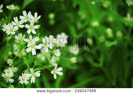 Flowering Tender Forest Flowers In The Soft Morning Light, Nature Background